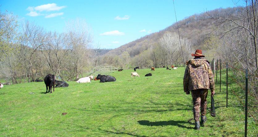 cowscorey.jpg