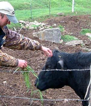 Feeding Grass to a Pregnant Cow