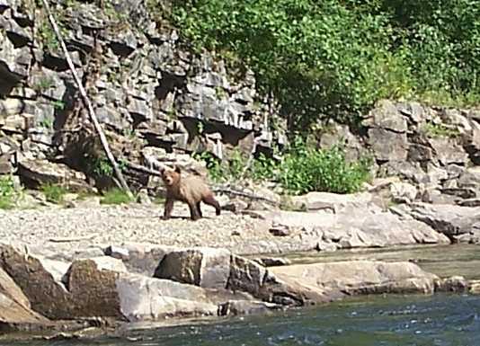 Cub Grizzly Bear