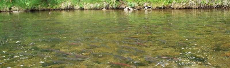 Pool full of Salmon