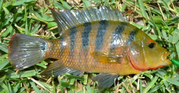 Incidental further Audubon Contest Winners 2010 moreover Mayan Cichlid besides Jaguar Yasuni Winter further Micro Fishing In Southern Florida. on oscar fish in everglades