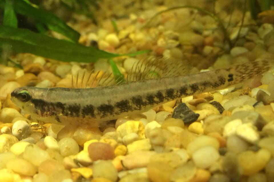 Please add Swamp Darter, Etheostoma fusiforme | roughfish com