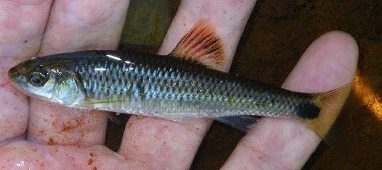 Alabama Shiner, Cyprinella callistia