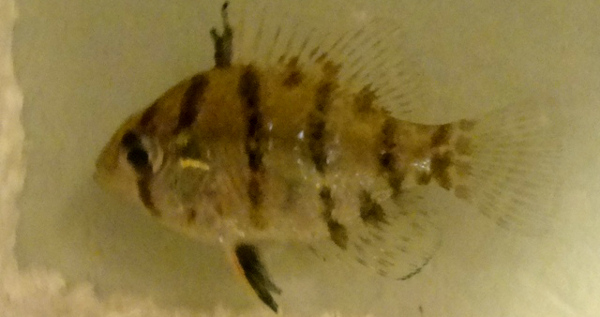 Blackbanded Sunfish, Enneacanthus chaetodon