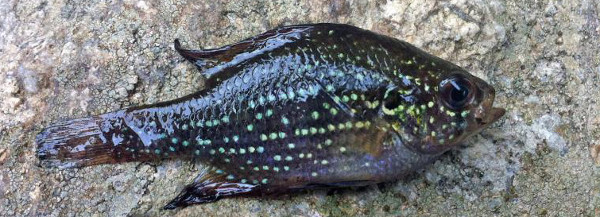 Bluespotted Sunfish, Enneacanthus gloriousus