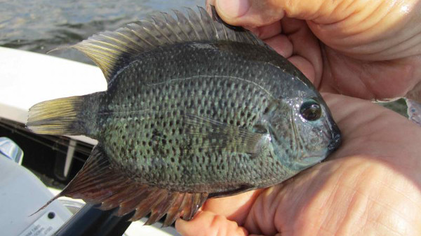 Green Severum, Heros severus
