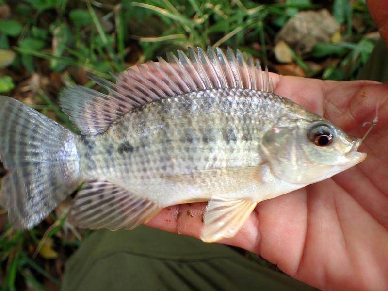 Oreochromis niloticus Nile Tilapia