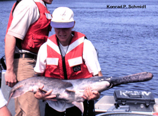 Konrad Schmidt MN DNR Paddlefish Photo Polyodon spathula