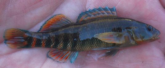Rainbow Darter, Etheostoma caeruleum