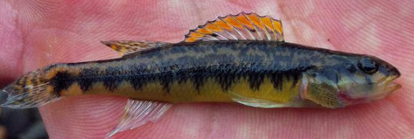 Roanoke Darter, Percina roanoka