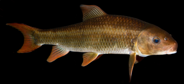Robust Redhorse (Moxostoma robustum) copyright Brian Gratwicke (https://www.flickr.com/people/19731486@N07) Creative Commons 2.0 Licensing