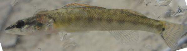 Slenderhead Darter, Percina phoxocephala