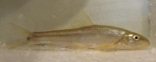 Suckermouth Minnow, Phenacobius mirabilis