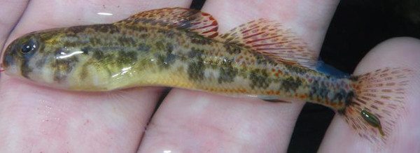 Tennessee Darter, Etheostoma tennesseense