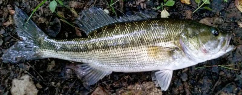Alabama Bass Micropterus henshalli