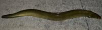 American eel, Anguilla rostrata