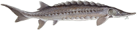 Acipenser oxyrinchus Atlantic and Gulf Sturgeon