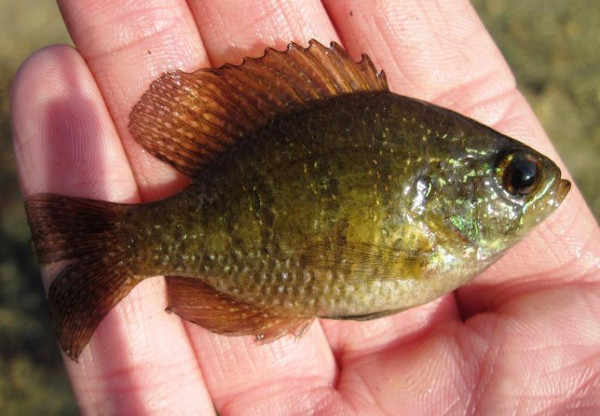 Banded Sunfish, Enneacanthus obesus