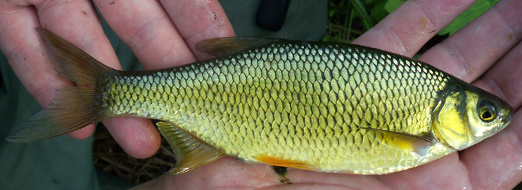 Big, Humungous, Huge Golden Shiner - Notemigonus crysoleucas