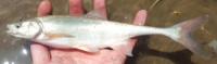 Bonytail Chub Gila elegans