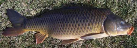 Common Carp Cyprinius carpio