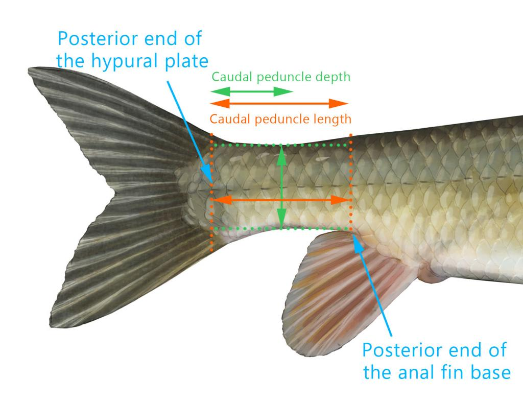 Counting scales and caudal peduncle proportion (black redhorse ...