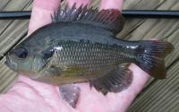 Redspotted sunfish Lepomis miniatus