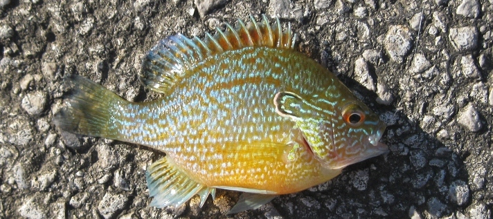 Dollar sunfish Lepomis marginatus