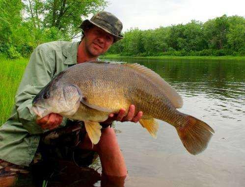 Freshwater Drum or Sheephead - Aplodinotus gruniens