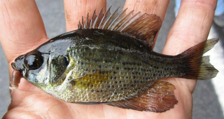 Flier Sunfish Centrarchis macropterus
