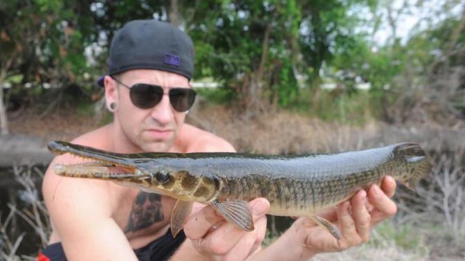 Florida Gar, Lepisosteus platyrhincus Alex Moose