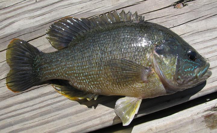 Green Sunfish, Lepomis cyanellus