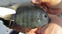 Green Green Severum - Heros severus from Miami Florida (tamiami canal)