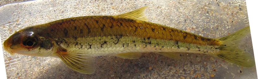 Gravel Chub, Erimystax x-punctatus