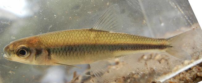 Highfin Shiner, Notropis altipinnis