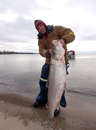 Inconnu Sheefish Eskimo Tarpon Stenodus leucichthys