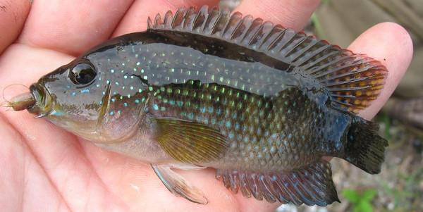 Jack dempsey cichlid rocio octofasciata exotic florida for Invasive fish in florida