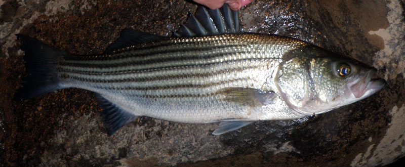 Striper Striped Bass Morone saxatilus