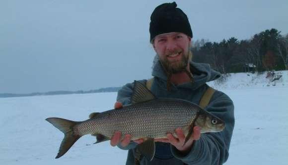 Lake Whitefish - Coregonus clupeaformis