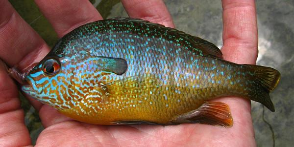 Central Longear Sunfish Lepomis megalotis breeding male