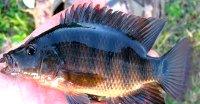 Exotic fish, cichlid oscar mayan cichlid acara