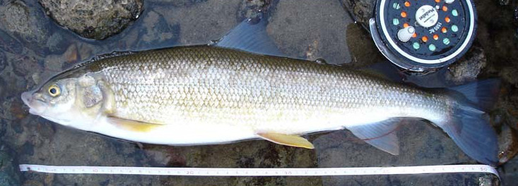 Mountain Whitefish Prosopium williamsoni