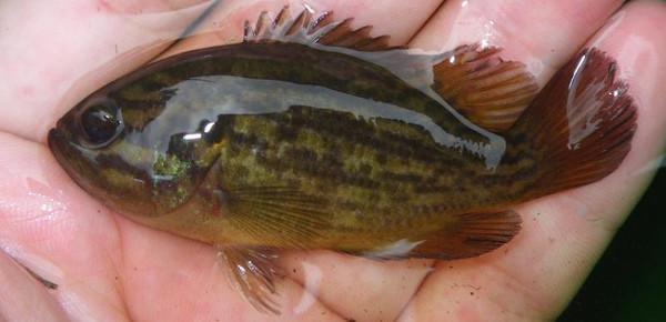 Mud Sunfish, Acantharchus pomotis