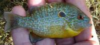 Northern Longear Sunfish - Lepomis peltastes