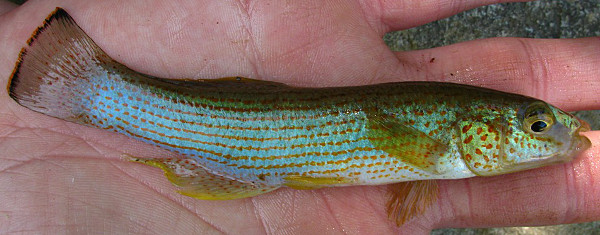 Northern Studfish, Fundulus catenatus