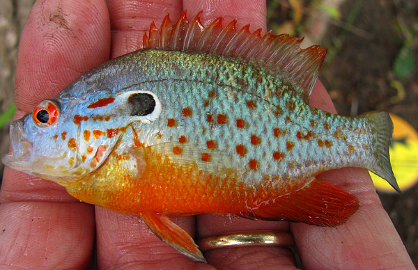 Orangespotted Sunfish Lepomis humilis