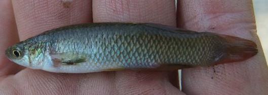 Plains Topminnow, Fundulus sciadicus