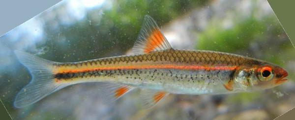 Rainbow Shiner, Notropis chrosomus