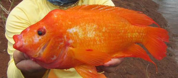 Red devil cichlid amphilophus labiatus exotic florida for Red devil fish