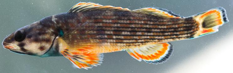 Redline Darter, Etheostoma rufilineatum